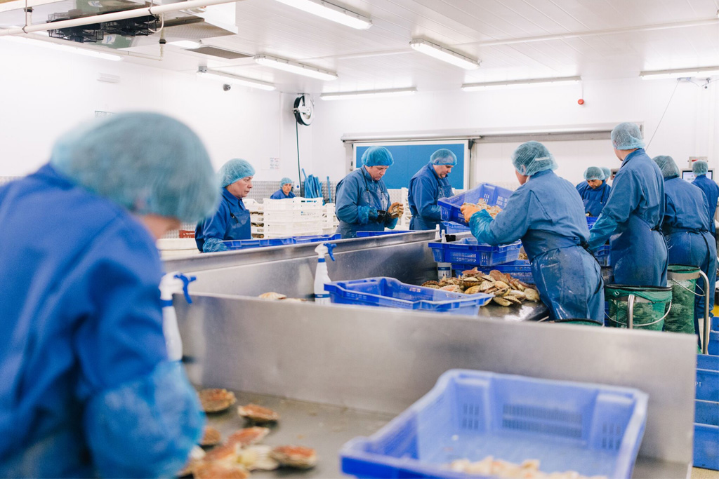 Scallops in production at the Redruth factory